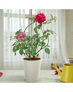 Quality Fragrant Roses