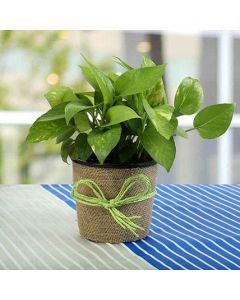 Prosperity Money Plant