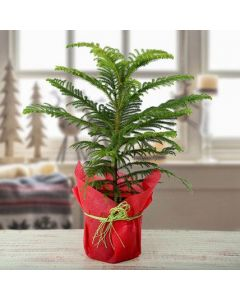 Buy Araucaria Plant Online