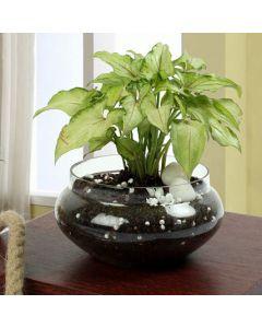 Exotic Syngonium Plant