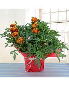 Buy Marigold Plant Online