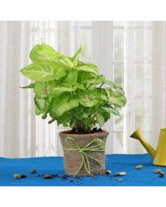Beautiful Syngonium Plant