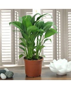 Beautiful Peace Lily Plant
