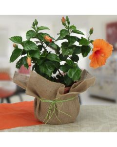 Outdoor Hibiscus Plant