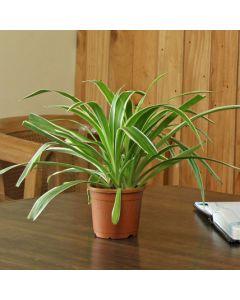 Gardening Spider Plant