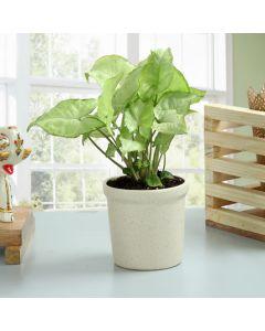Outdoor Syngonium Plant