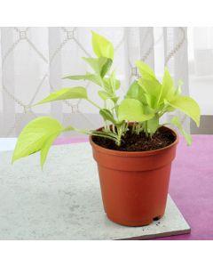 Lovely Money Plant