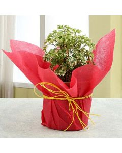 Beautiful Aralia Plant